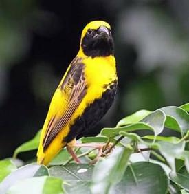 Wevervogel in Vlindertuin Vlindorado. Foto gemaakt door Canon Cor.