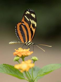 Tithorea harmonia in Vlindertuin Vlindor