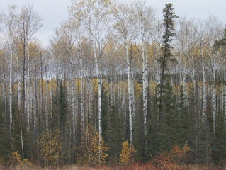 Popular Firewood Species in Manitoba
