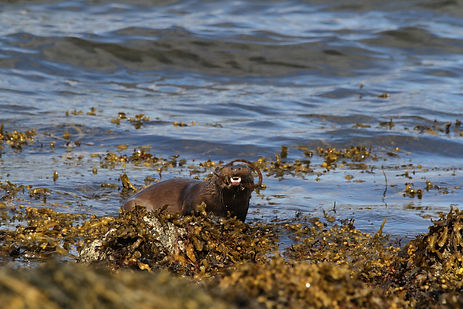 Otter eating a crab on the beach