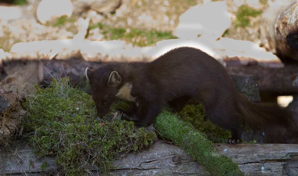 pine marten looking around