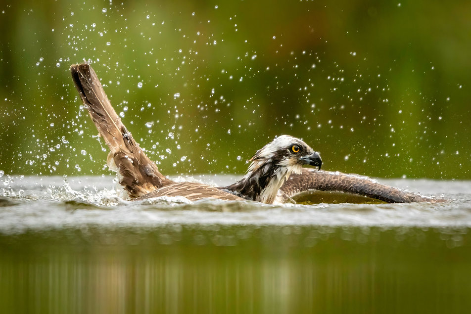 Osprey floating on water