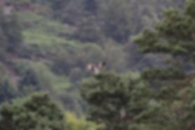 Osprey landing on tree branch