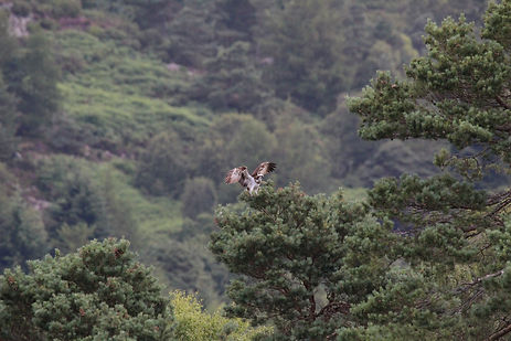 Osprey landing on tree branch