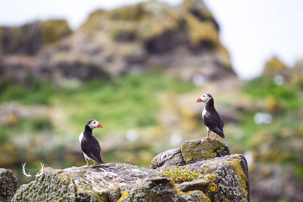 Two puffins on cliff