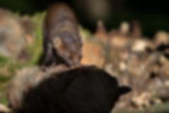 pine marten sniffing
