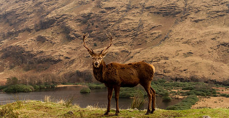 Red Deer stag in mountain