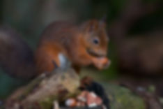 Red-Squirrel.jpg
