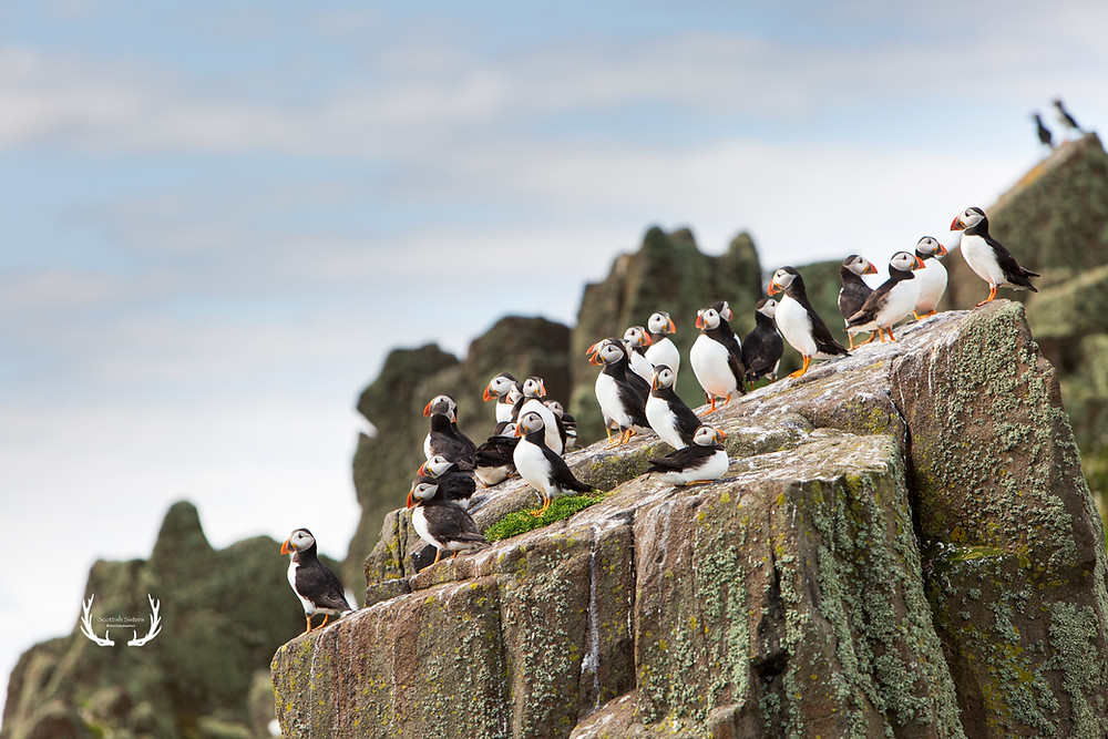 Lots of puffins on rock
