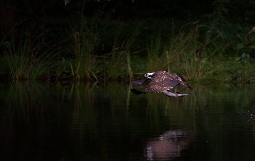 Osprey over water with fish in talons