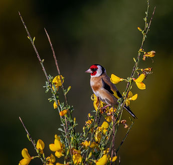 Goldfinch in branches