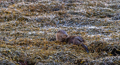 Otter in seaweed