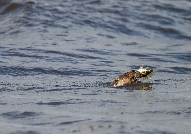 Otter swimming with a fish in its mouth