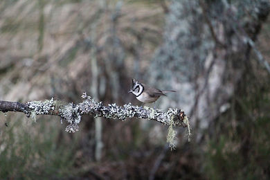Crested Tit (5 of 5).jpg