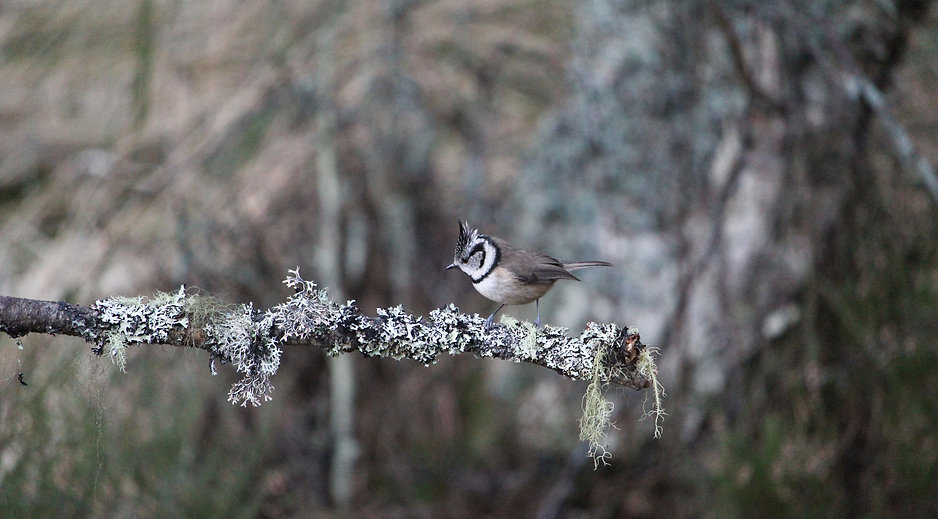 crested tit sitting on a lichen