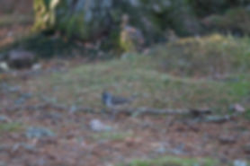 crested tit sitting on the groun