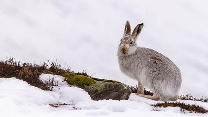 Hare5.jpg