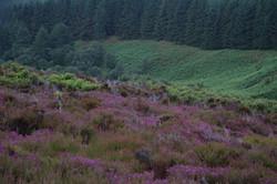 sottish-heather-isle-of-arran