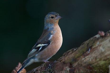 Female chaffinch on tree