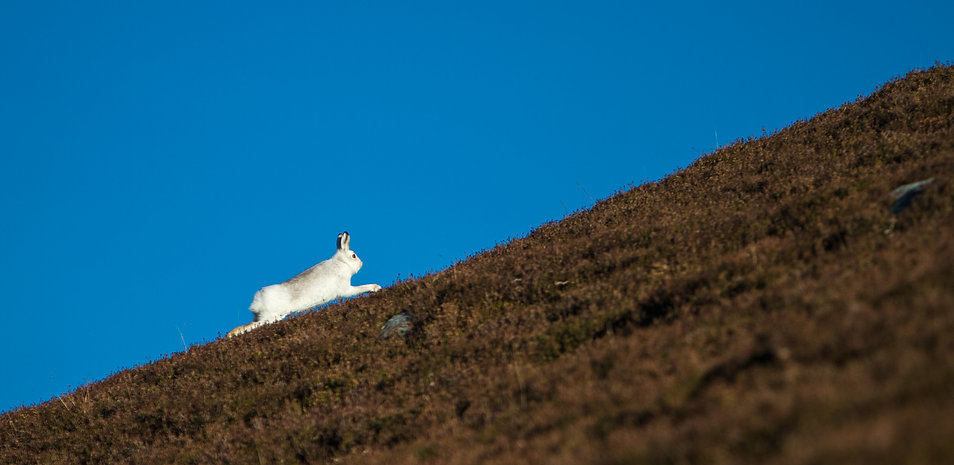 white mountain hare running up the mountain