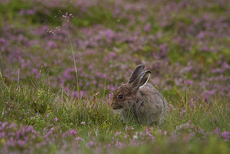 brown mountain hare in the pink heather
