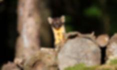 pine marten looking over a log