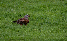 Red Kite in grass