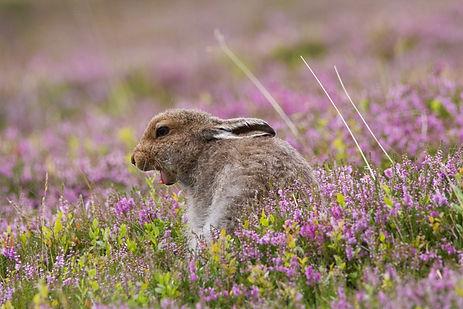 brown mountain hare yawning