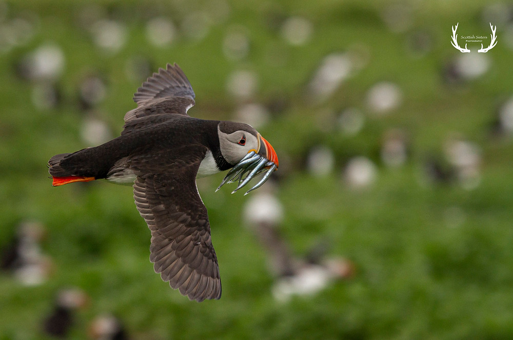 Puffin flying with sand eels