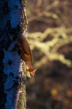 scottish red squirrel running down tree