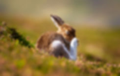 Hare Itch.jpg