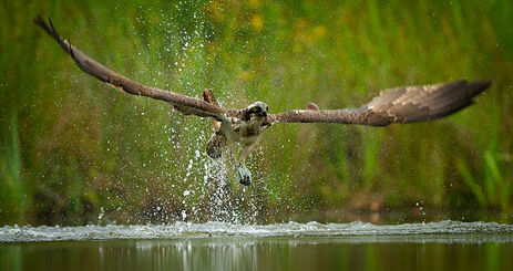 Osprey lifting off from water