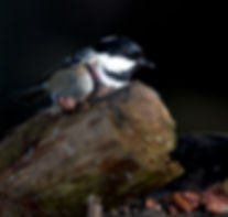 Coal tit on branch