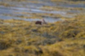 Otter yawning on the kelp