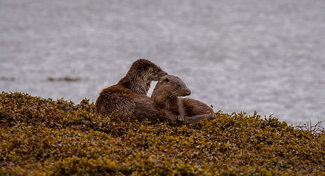 Otters in seaweed