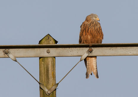 red kite perched on telegraph pole