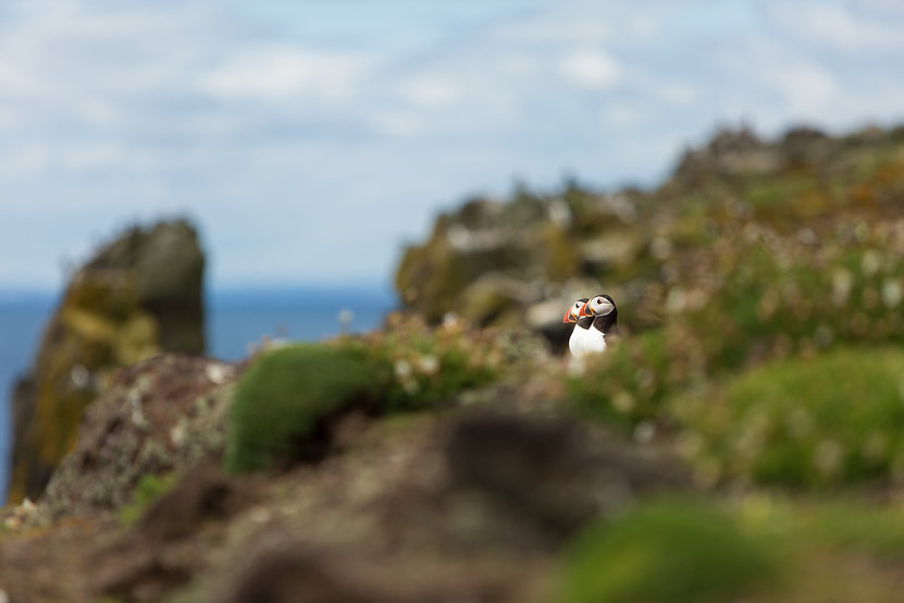 Puffins looking out to sea