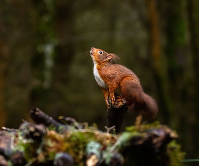 Red Squirrel about to jump