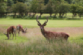 red deer stags on golf course