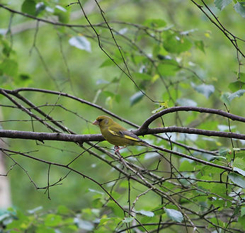 greenfinch on branch