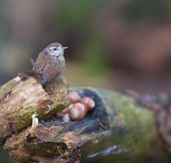 Wren sitting on a branch