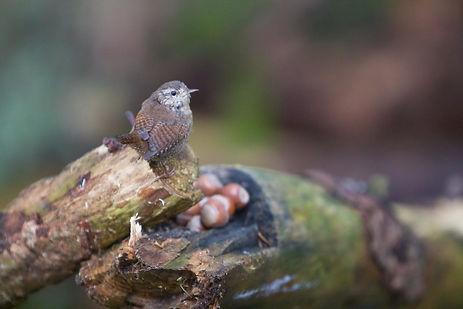 Wren on tree stump