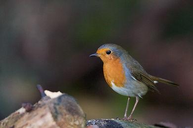 Garden Birds 4 (1 of 5).jpg