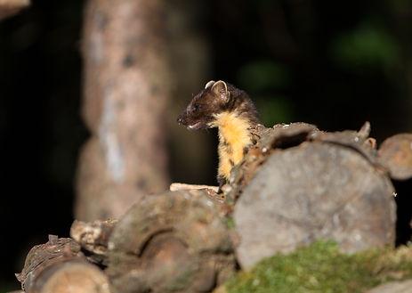 pine marten on a log