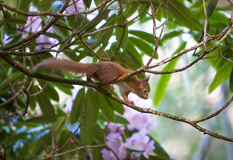 scottish red squirrel in a tree