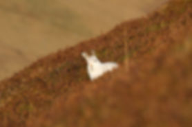 white mountain hare in the burnt heather