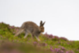 brown mountain hare running in the pink heather