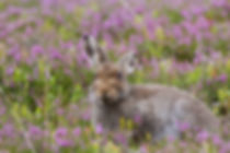 Mountain Hare in the heather