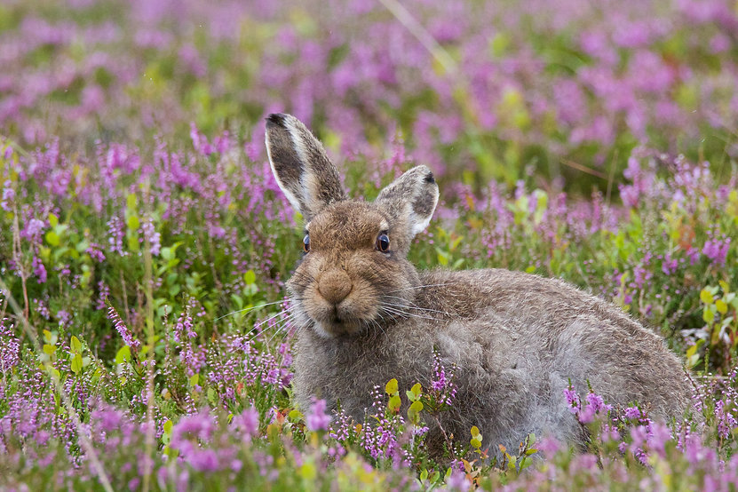 Mountain Hare sitting in pink heather