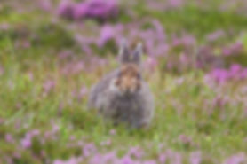 brown mountain hare eating grass
